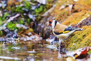 goldfinch in the autumn forest