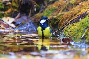great tit bathed in a forest puddle