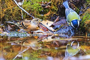 Wild birds bathed in a forest puddle