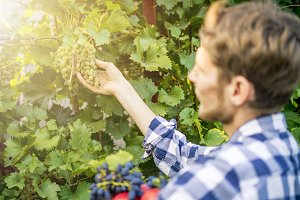 young bearded man pick grapes wine h