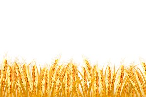 Gold wheat field. Vector