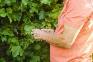 senior male farmer in the graves vin