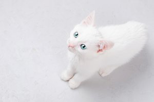 white kitten on a white background
