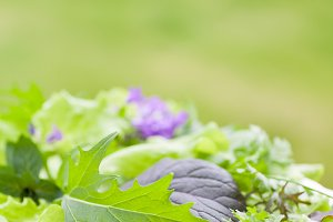 Variety of Mesclun Lettuce