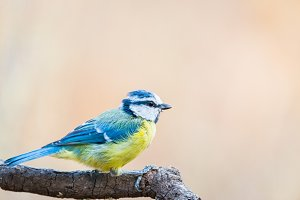 Blue Tit or herrerillo comun perched