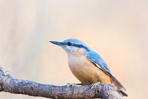 Sitta europaea or trepador azul on a