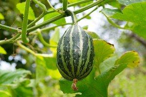 Young green pumpkin