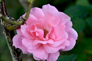 Pink delicate rose
