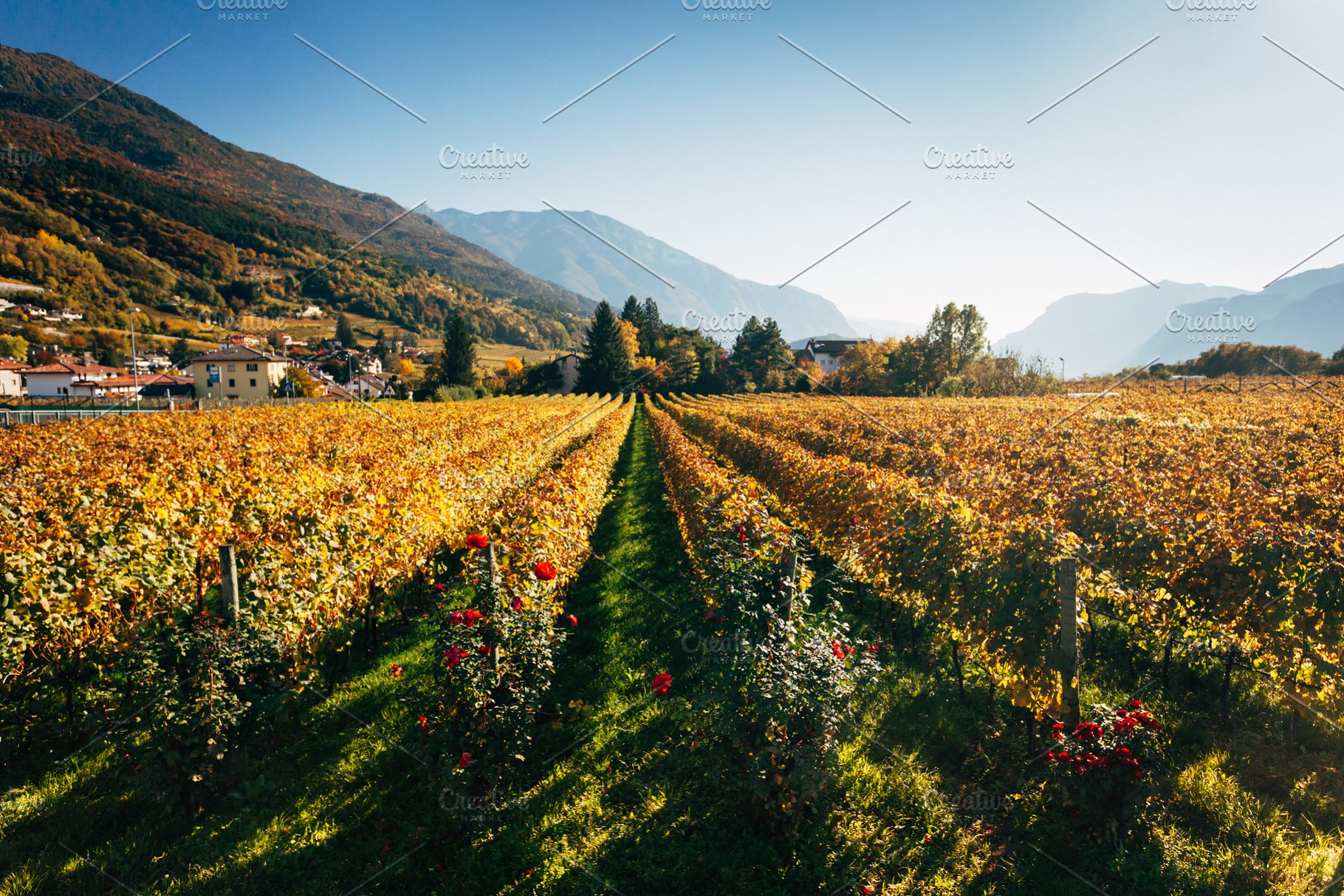 Vineyards in Trento in autumn