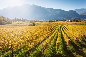 Autumnal vineyard in Trento