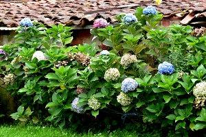 Rustic hydrangea flowers garden