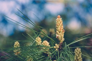 Blooming Pine Cone