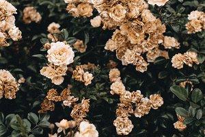 Pastel roses bush