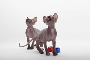 Two Bald Cat Sphinx (Sphynx).