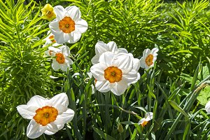 White daffodils in the flower bed.