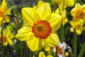 Yellow daffodil in backlit.