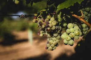 Bunches of grapes in the vines