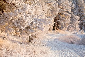 Winter forest. Christmas background