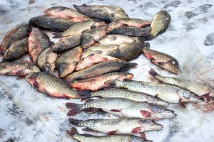 Alive carp and pike for sale