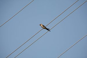 Bird on Electrical Wire