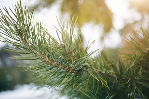 Winter photo Christmas pine tree