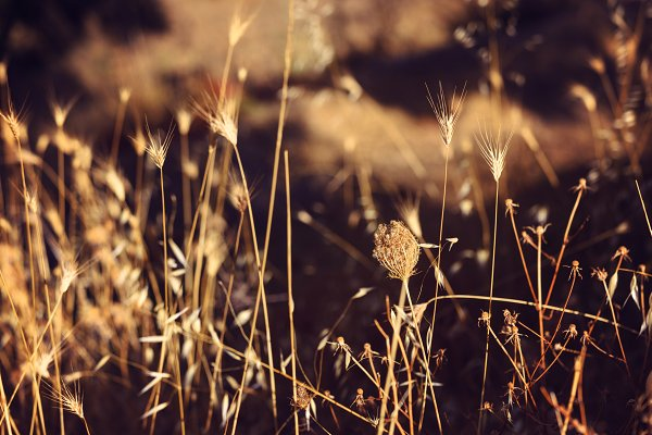 Dry filed weed herbs in golden ligh…