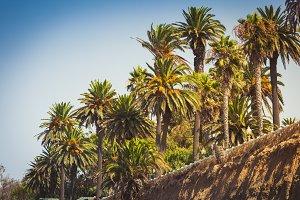 Palms in Palisades park in Santa Mon
