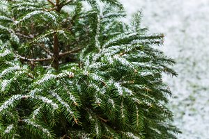Natural fir tree brunches covered wi