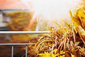 Autumn balcony and terrace plant