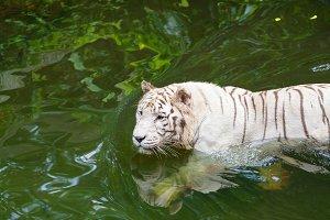Active albino white tiger outdoors