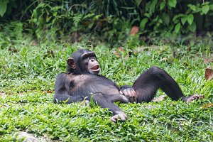 chimpanzee lying and relax on green
