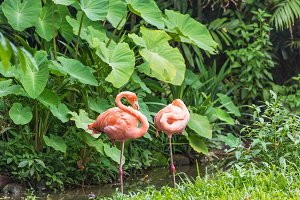 Two pink flamingo standing in water