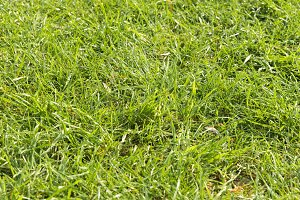 Background with green grass close up