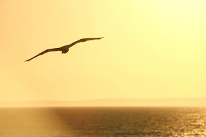 Flying Seagull Silhouette