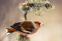 Hawfinch sitting on a stick by  in Animals