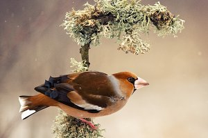 Hawfinch sitting on a stick
