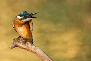 Kingfisher sitting on a stick