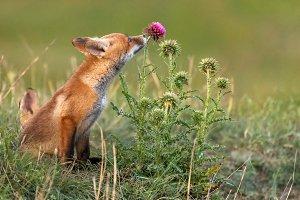 Little Red Fox sniffs a red flower.
