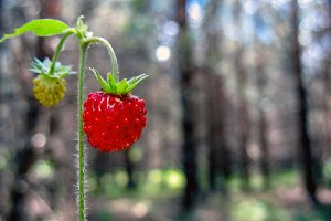 Red berry in forest