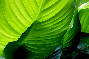 Green leaves banana backlight