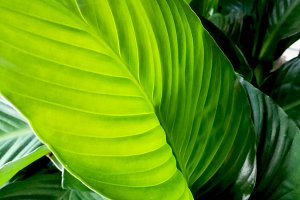 Banana tree leaves backlight