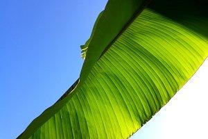 Banana branch leaf backlight