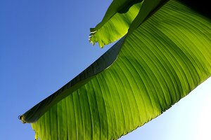 Banana branch leaves backlight