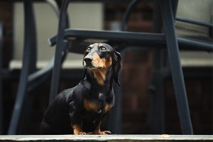 Dachshund, purebred miniature dog