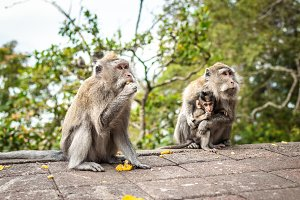 A funny little macaque on the nature