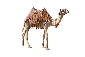 The lonely domestic camel isolated o
