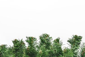 thick green fir branches isolated