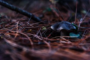 Mushroom grey in pine needles close