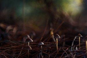 Mushrooms little and pine needles