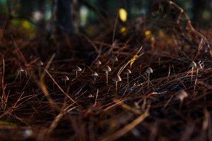 Mushrooms little in pine needles